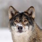 Wolfsportrait_rp19