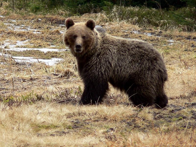 Bär, Tatra Nationalpark