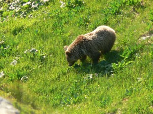 Bär Tatra Nationalpark