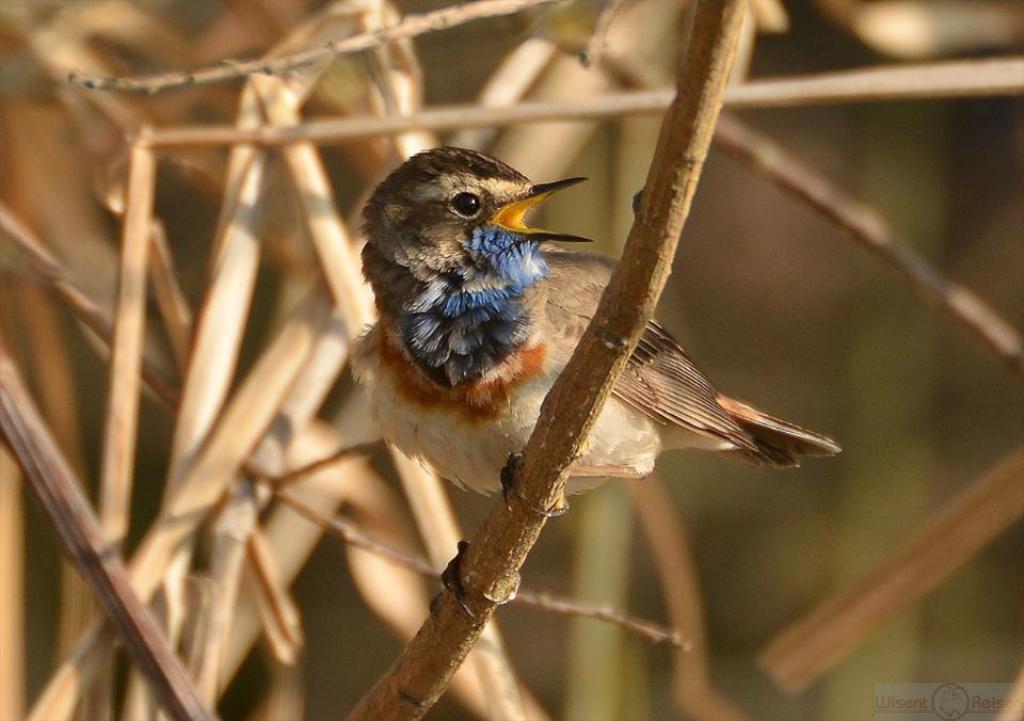Blaukelchen, Narew Nationalpark