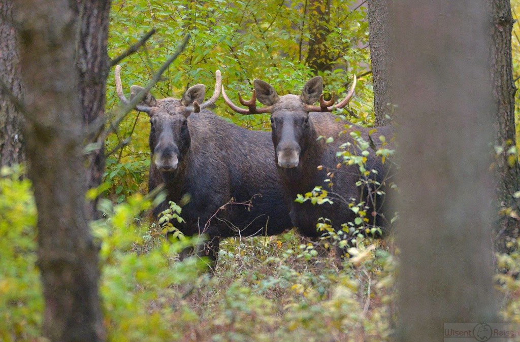 Elche Biebrza Nationalpark