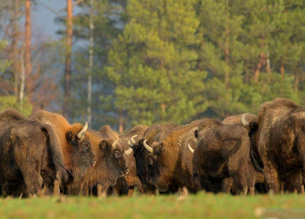 Wisentherde, Bialowieza Nationalpark