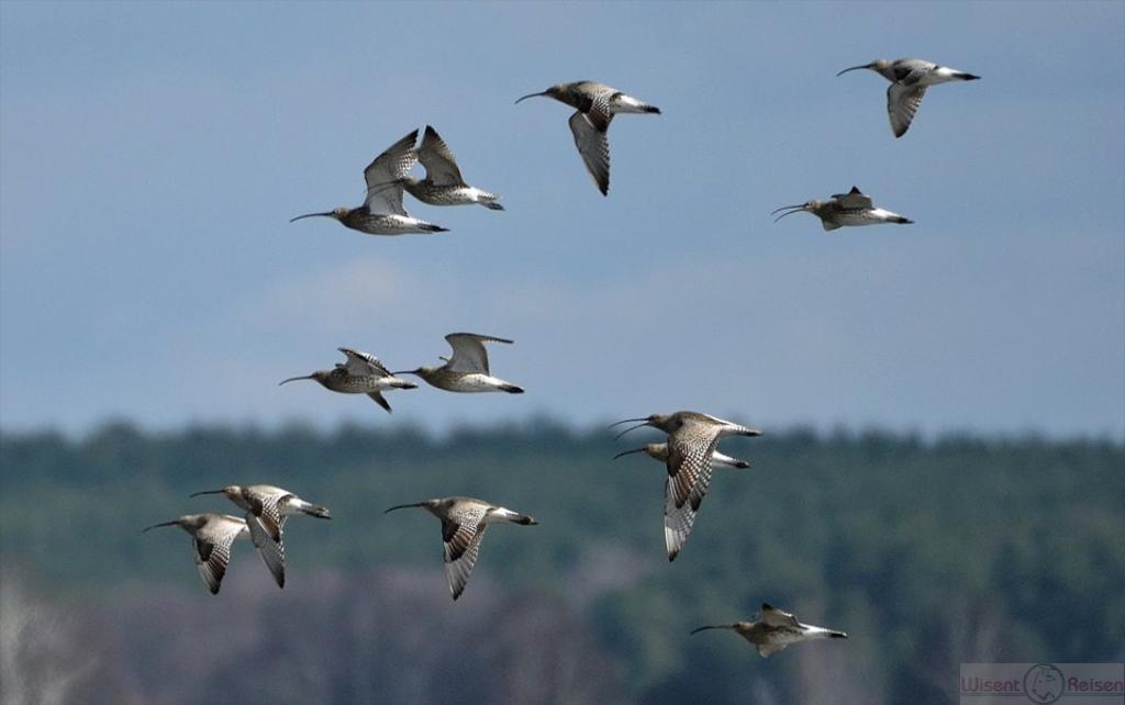 Brachvogel  Biebrza Nationalpark