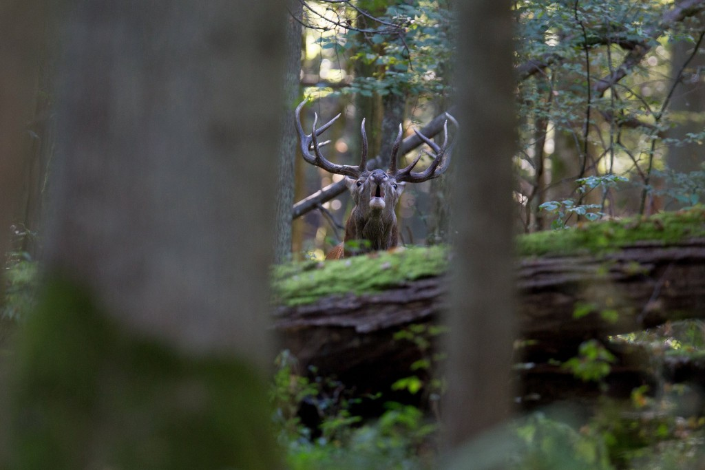 hirsch urwald