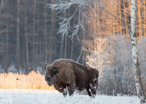 wisent winter urwald