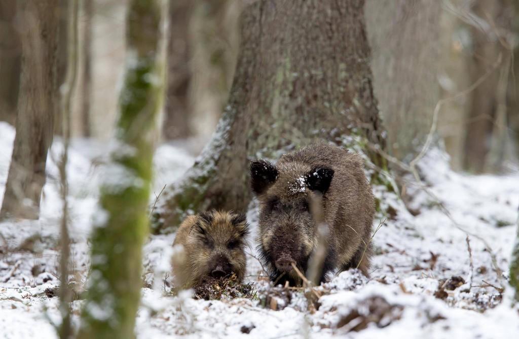 Wildchweine im Februar